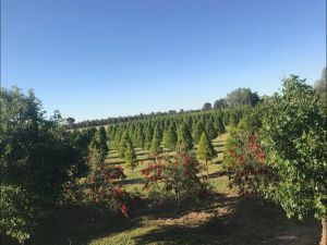 Rutherglen Christmas Trees Farm Stay - Grafton Accommodation