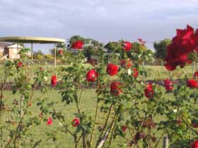 Elizabeth Park Rose Gardens - Grafton Accommodation
