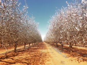 Mallee Almond Blossom Festival - Grafton Accommodation