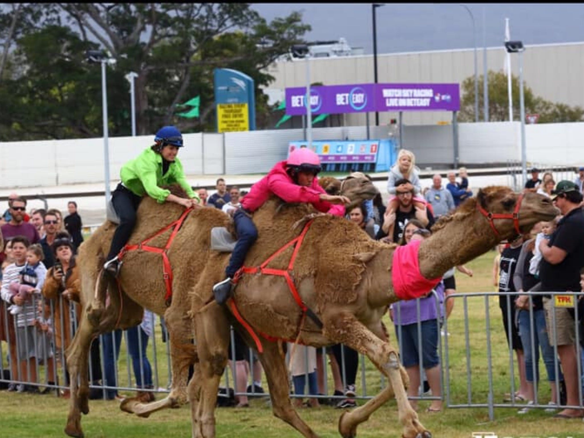 Camel Races at Gosford Showgrounds - Grafton Accommodation
