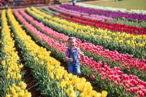 Tesselaar Tulip Festival - Grafton Accommodation